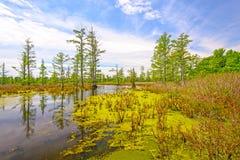 在一个晴天的赛普里斯沼泽 免版税库存照片