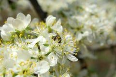 在一个晴天蜂喝花蜜 免版税库存图片