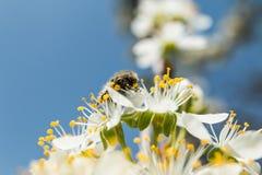 在一个晴天蜂喝花蜜 免版税库存照片
