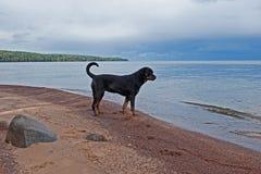在一个离开的海滩的一条狗 图库摄影