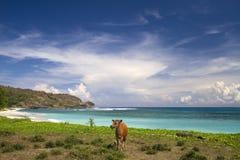 在一个离开的海滩的一头母牛 免版税库存照片