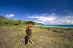 在一个离开的海滩的一头母牛 免版税库存图片