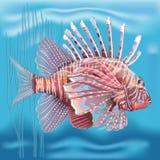 在一个水族馆的Pterois radiata在蓝色背景 免版税库存图片