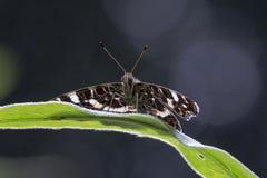 在一个黑暗的背景的地图蝴蝶 免版税库存照片