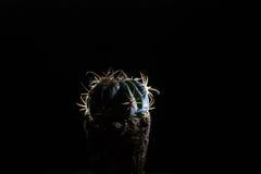 在一个黑暗的背景的仙人掌 库存图片