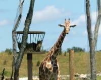 在一个晴朗的下午的一头长颈鹿 免版税库存照片