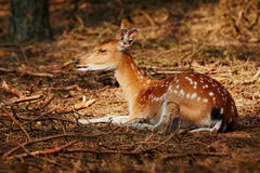 在一个晴朗的斑点的鹿在一个黑暗的森林里 库存照片