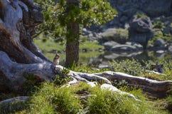 在一个晴朗的草甸的花栗鼠 免版税库存图片