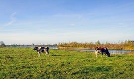 在一个晴朗的风景的两头幼小吃草的母牛 库存图片