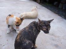 在一个轻松的姿势的猫 免版税库存照片