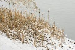 在一个冻池塘的岸的芦苇雪的 免版税库存图片