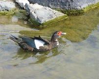 在一个水池的一只俄国鸭子在费埃特文图拉岛 库存图片