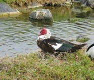 在一个水池的一只俄国鸭子在费埃特文图拉岛 免版税库存照片