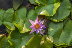 在一个水池的莲花在东南亚- 2 库存照片