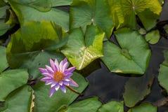 在一个水池的莲花在东南亚- 1 免版税库存图片