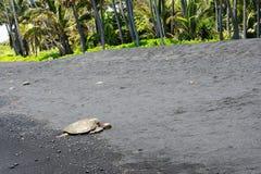 在一个黑沙子海滩的绿浪乌龟,大岛,夏威夷 免版税图库摄影