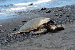 在一个黑沙子海滩的绿浪乌龟,大岛,夏威夷 库存照片