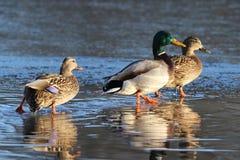 在一个冻湖的三只鸭子在冬天 库存照片