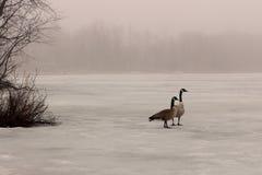 在一个冻湖的加拿大鹅 免版税库存图片