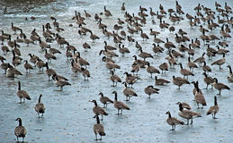 在一个冻湖的数十只加拿大鹅 免版税库存图片