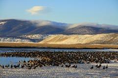 在一个冻湖的鹅 免版税库存图片