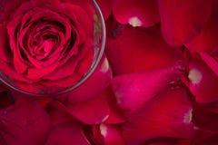 在一个玻璃杯子的一朵红色玫瑰 库存照片