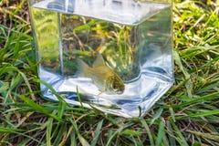 在一个玻璃瓶子的小鱼在湖背景  免版税库存照片