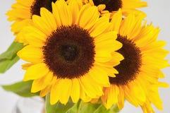 在一个玻璃花瓶的向日葵 库存照片