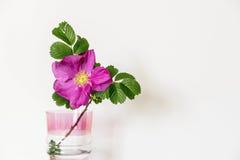 在一个玻璃花瓶的开花的狗玫瑰色花 图库摄影