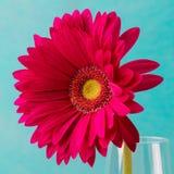 在一个玻璃花瓶的红色大丁草花 复制空间 免版税图库摄影