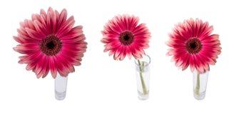 在一个玻璃花瓶的红色大丁草从背景 免版税图库摄影