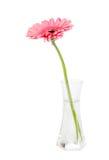 在一个玻璃花瓶的花桃红色大丁草 图库摄影
