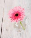 在一个玻璃花瓶的花桃红色大丁草 库存照片