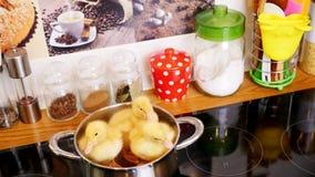 在一个玻璃陶瓷黑火炉,在一个平底锅,在一个透明盒盖下,坐三只小黄色鸭子 妇女` s手 影视素材