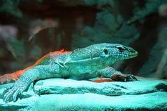 在一个玻璃玻璃容器的一只大蜥蜴 免版税库存图片