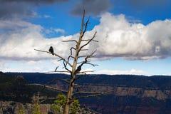 在一个死的分支的乌鸦在大峡谷 库存照片