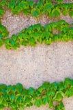 在一个轻的石墙上的绿色常春藤 库存照片