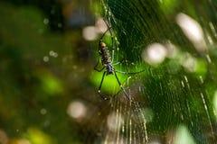 在一个他的网的蜘蛛 免版税库存照片