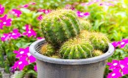 在一个黑罐的小绿色仙人掌在庭院花背景 图库摄影