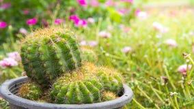 在一个黑罐的小绿色仙人掌在庭院花背景 库存图片