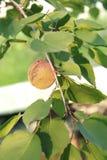 在一个绿色分支的杏子在阳光下 图库摄影