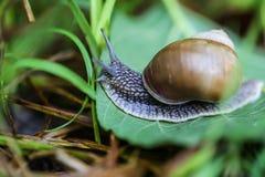 在一个绿色叶子特写镜头的大美丽的蜗牛 图库摄影
