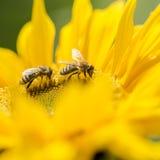 在一个黄色向日葵的两只蜂蜜蜂 库存图片
