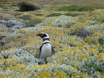在一个绿色和黄色青苔的Pinguin在辣椒的seno otway保留 免版税库存图片