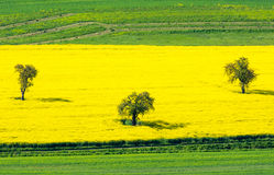在一个黄色强奸领域的树 免版税库存照片