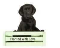 在一个绿色条板箱的黑拉布拉多小狗 库存图片