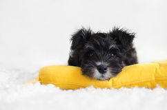 在一个黄色枕头的小髯狗小狗在白色背景 免版税库存图片