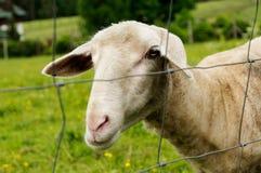 在一个绿色牧场地的好奇被剪的绵羊在滤网篱芭后 免版税图库摄影