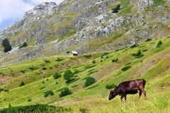 在一个绿色牧场地的母牛 库存照片