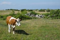 在一个绿色牧场的母牛 图库摄影